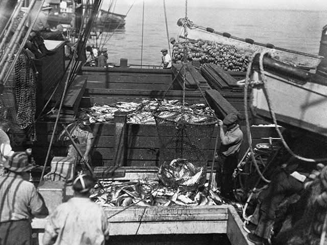 Everett Packing Company receives a boatload of fish for processing, circa 1931.